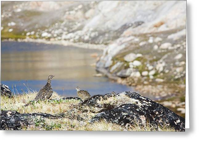 A Female Ptarmigan With Young Greeting Card by Ashley Cooper