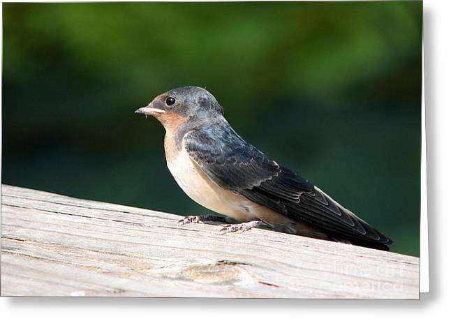 A Female Purple Martin Is Watching You Greeting Card