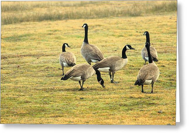 A Flock Of Canada Geese Greeting Card by Rima Biswas