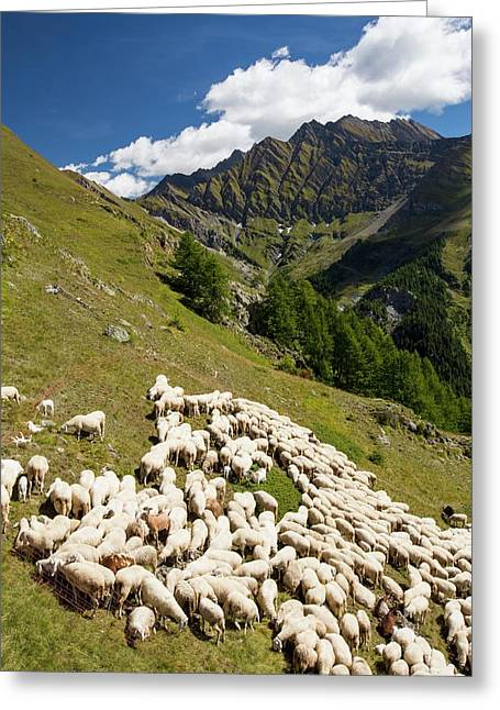 A Flock Of Sheep By The Refuge Bertone Greeting Card by Ashley Cooper