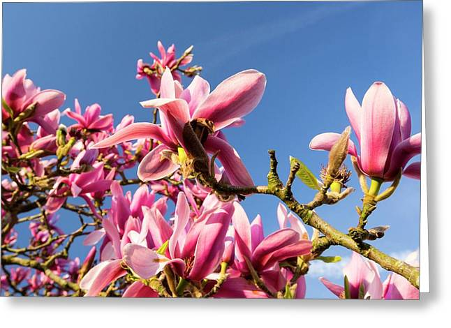 A Flowering Magnolia Tree Greeting Card