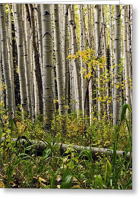 A Forest Of Aspen Greeting Card by Eric Rundle