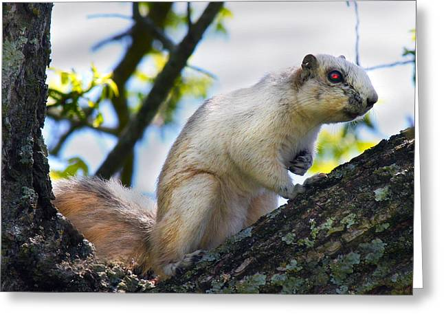 A Fox Squirrel Pauses Greeting Card by Betsy Knapp