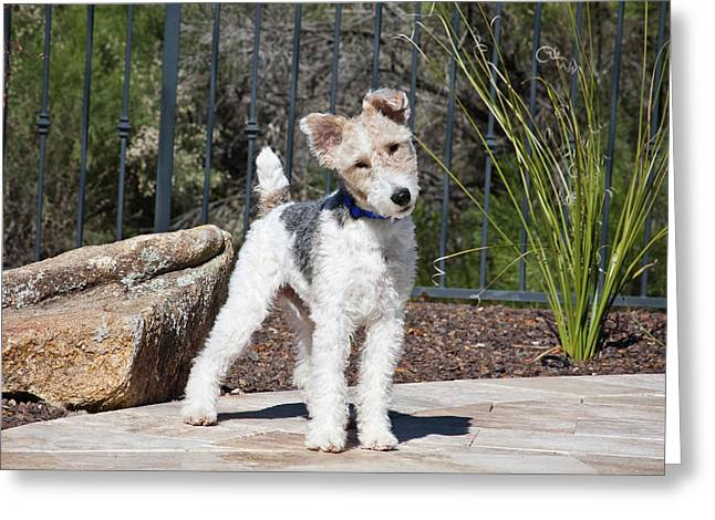 A Fox Terrier Puppy Standing On A Patio Greeting Card by Zandria Muench Beraldo