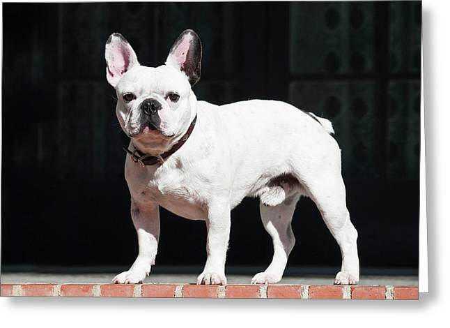 A French Bulldog Standing On A Red Greeting Card by Zandria Muench Beraldo