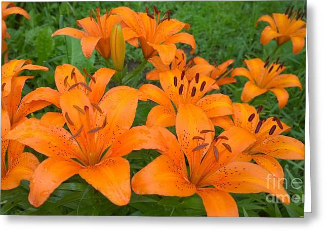 A Garden Full Of Lilies Greeting Card