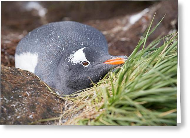 A Gentoo Penguin On Prion Island Greeting Card by Ashley Cooper