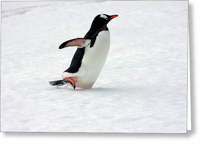 A Gentoo Penguin (pygoscelis Papua Greeting Card