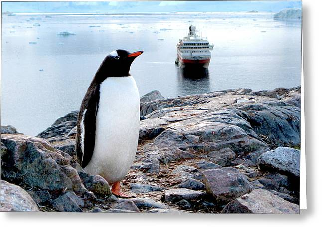 A Gentoo (pygoscelis Papua Greeting Card by Miva Stock