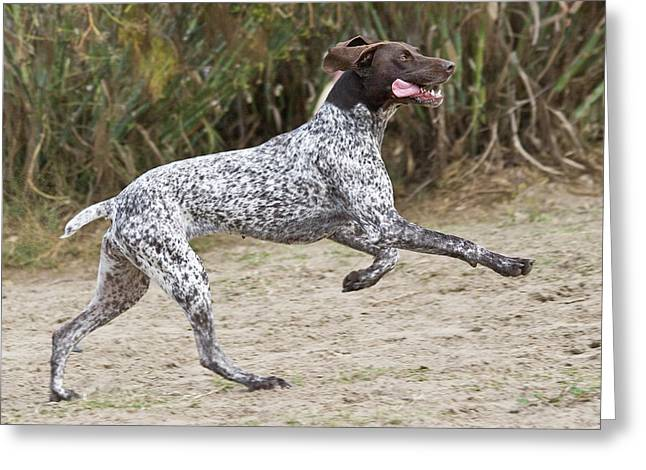 A German Shorthaired Pointer Running Greeting Card