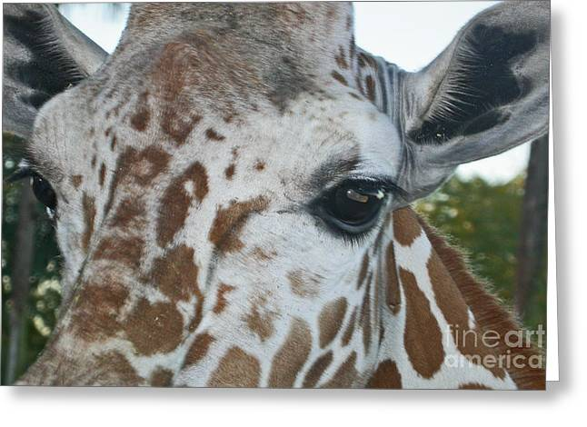 A Giraffe In Close Up Greeting Card