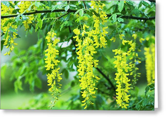 A Golden Chain Tree Blooms  Astoria Greeting Card