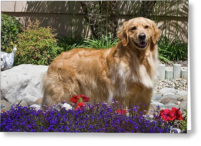 A Golden Retriever Standing In A Garden Greeting Card