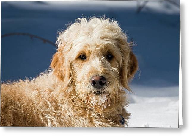 A Goldendoodle Lying In The Snow Bathed Greeting Card by Zandria Muench Beraldo