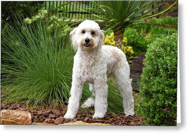 A Goldendoodle Standing In A Garden Greeting Card by Zandria Muench Beraldo