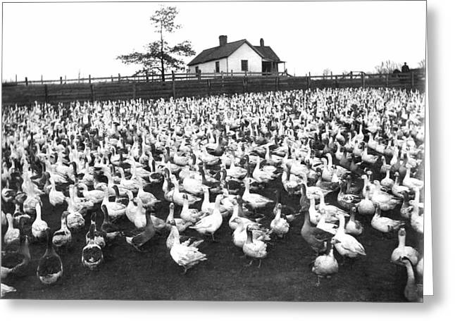 A Goose Ranch Greeting Card by Underwood Archives