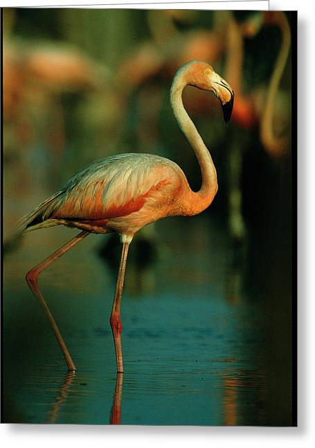 A Graceful Caribbean Flamingo Walks Greeting Card