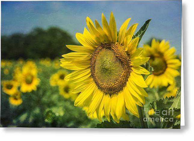 A Grand Sunflower Greeting Card by Terry Rowe
