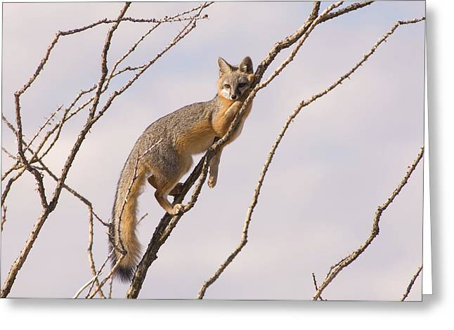 A Gray Fox In An Ocotillo Plant Looking Greeting Card