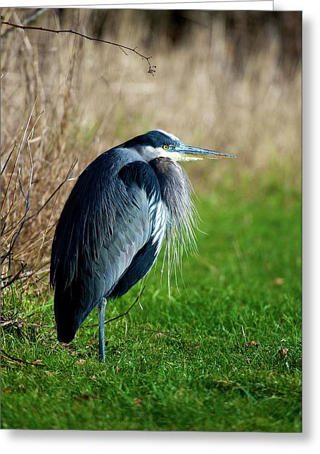 A Great Blue Heron (ardea Herodias Greeting Card
