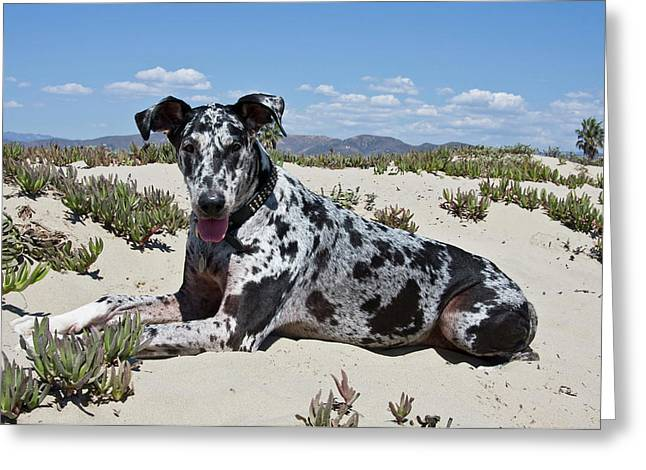 A Great Dane Lying In The Sand Greeting Card