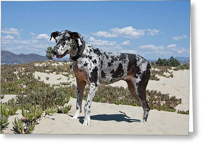 A Great Dane Standing In Sand Greeting Card