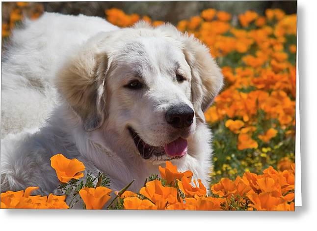 A Great Pyrenees Lying In A Field Greeting Card by Zandria Muench Beraldo
