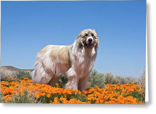 A Great Pyrenees Standing In A Field Greeting Card by Zandria Muench Beraldo