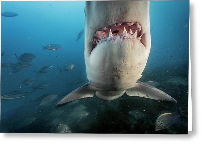 A Great White Shark Investigates Greeting Card by Brian Skerry
