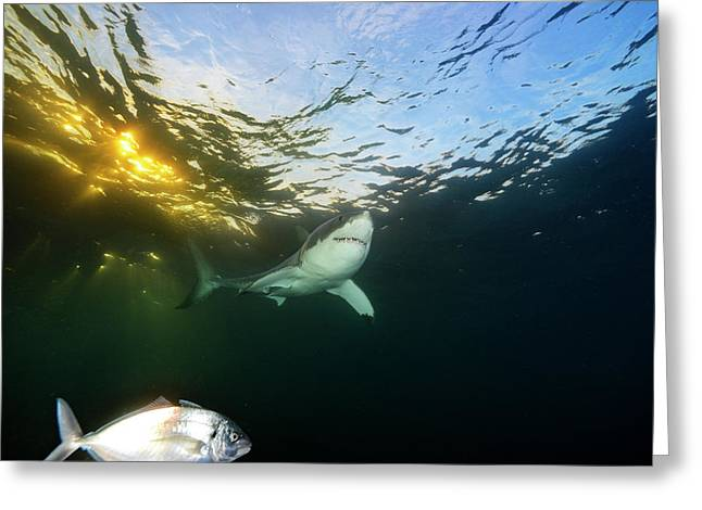 A Great White Shark Swims In Waters Greeting Card by Brian Skerry