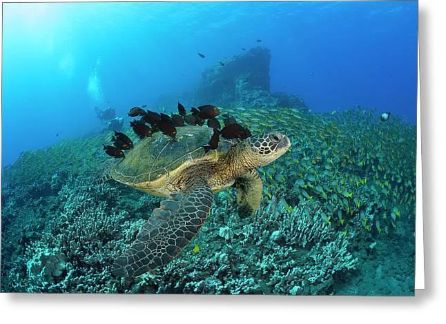 A Green Sea Turtlec  Chelonia Mydas Greeting Card by Dave Fleetham