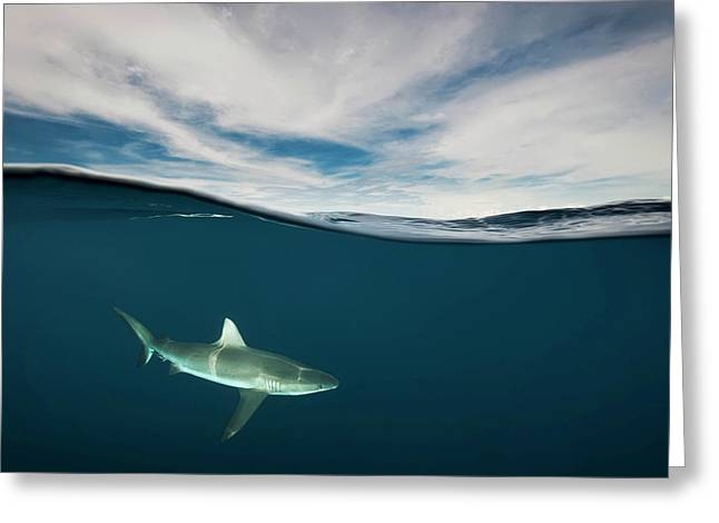 A Grey Reef Shark Swims In Kimbe Bay Greeting Card