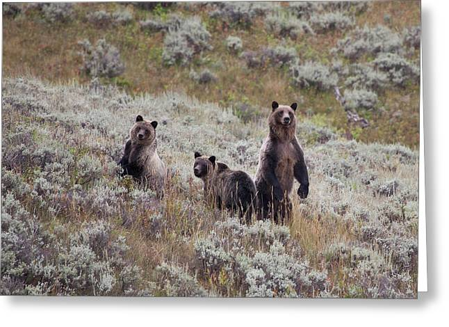 A Grizzly Bear With Its Two Cubs Greeting Card by Ben Horton
