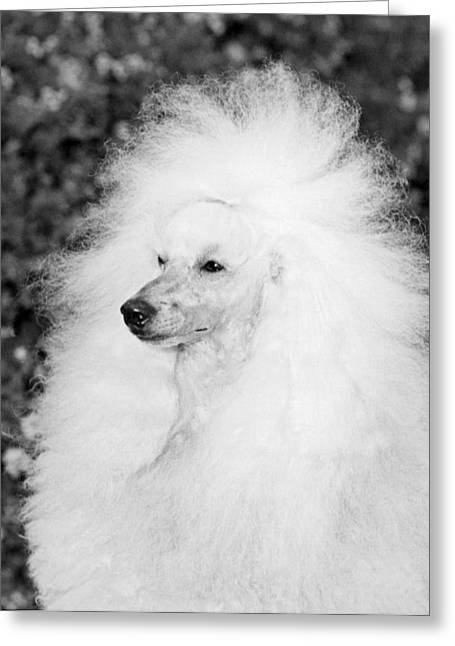 A Groomed Standard Poodle Greeting Card