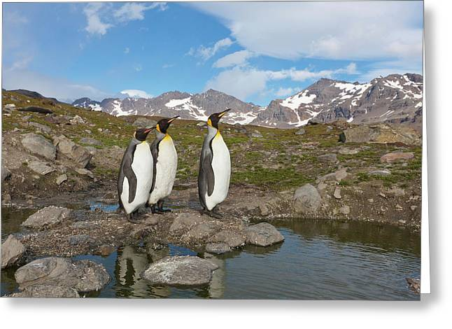 A Group Of Penguins Standing Together Greeting Card by Hugh Rose