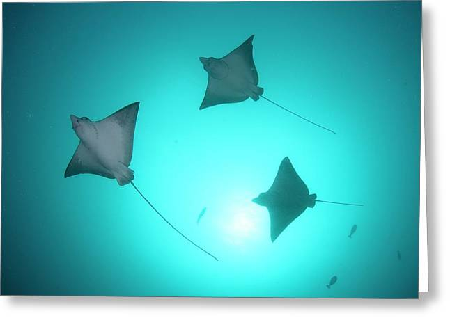 A Group Of Spotted Eagle Rays Greeting Card