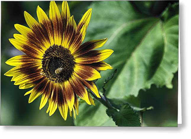 A Growing Sunflower Greeting Card by Gary Neiss