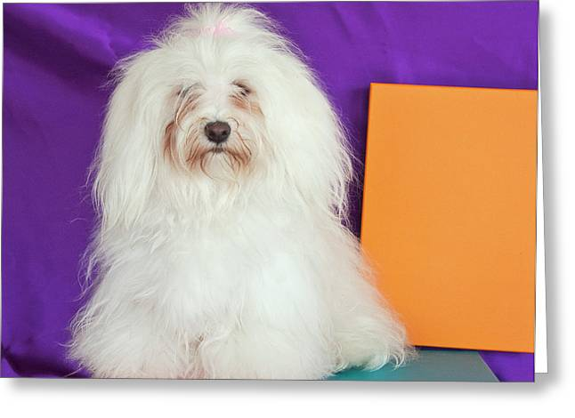 A Havanese Sitting In Front Of Colorful Greeting Card by Zandria Muench Beraldo