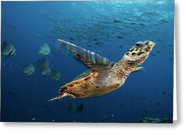 A Hawksbill Sea Turtle Swims Greeting Card