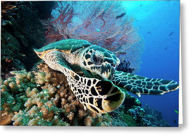A Hawksbill Sea Turtle Swims In Kimbe Greeting Card