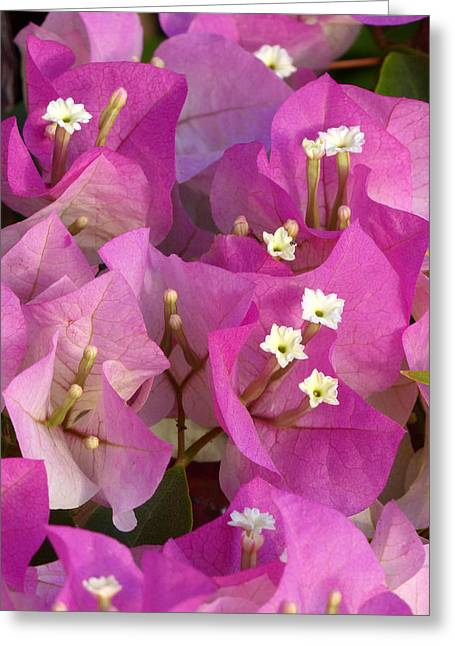 A Heavenly Bougainvillea Greeting Card
