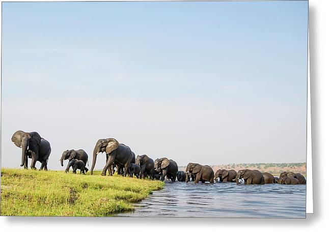 A Herd Of African Elephants Greeting Card by Peter Chadwick