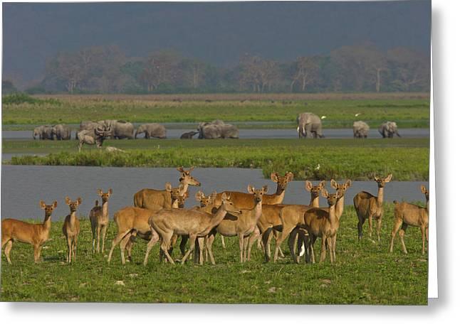 A Herd Of India Swamp Deer In Kaziranga Greeting Card