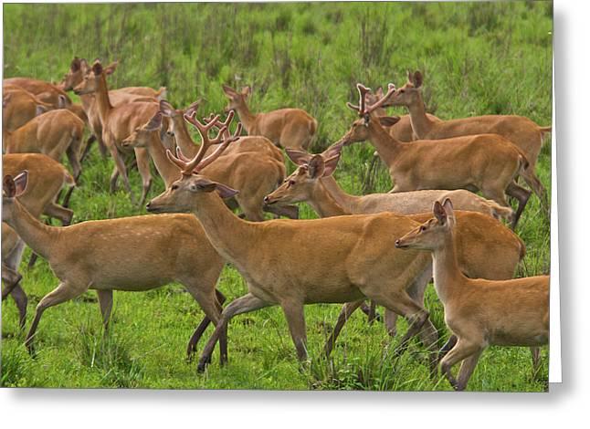 A Herd Of Swamp Deer In Kaziranga Greeting Card