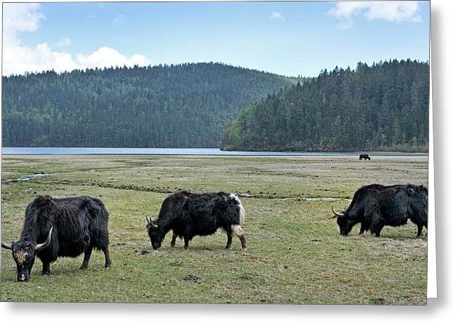 A Herd Of Yaks In Potatso National Park Greeting Card by Tony Camacho