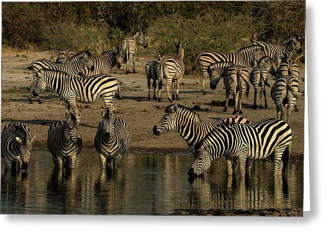 A Herd Of Zebras, Equus Quagga, Drink Greeting Card