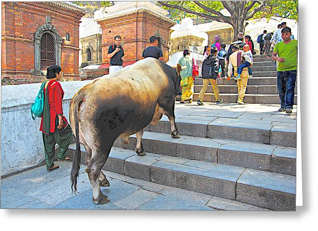 A Holy Cow Climbing Steps From Bagmati River In Kathmandu-nepal  Greeting Card