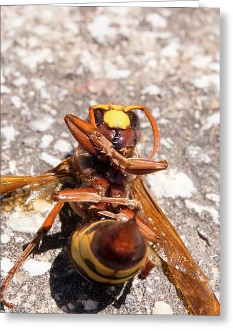 A Hornet Greeting Card