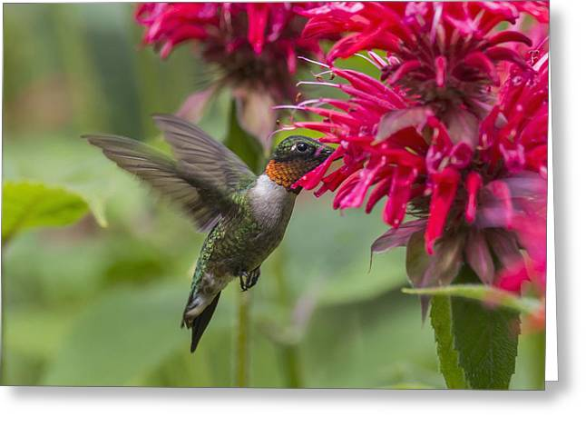 A Hummingbird Hovers By A Bright Pink Greeting Card by Julie DeRoche