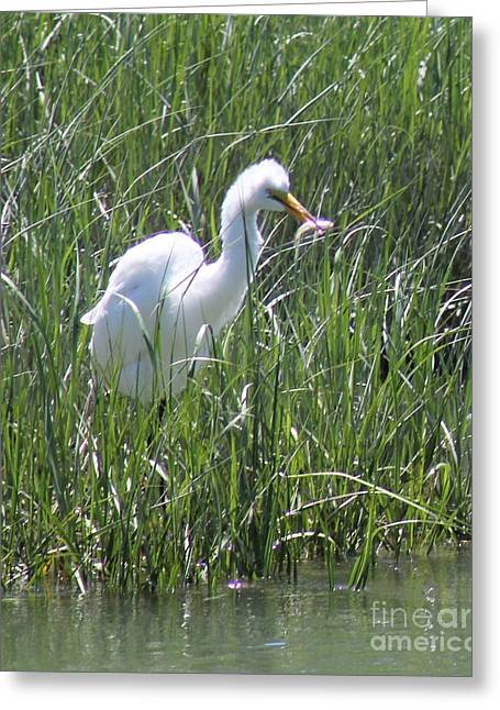 A Hungry Great Egret Greeting Card